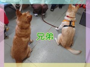 いわき犬猫を捨てない会の看板犬『波 琉』君とは本当の兄弟なの❣