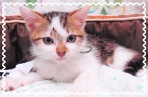 キジトラ白の男の子♂ やや臆病ですが甘えん坊❣ まっすぐなしっぽの猫ちゃん🐱