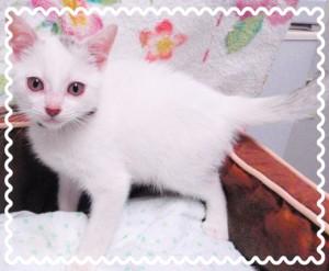 白キジトラの男の子♂ やや臆病ですが甘えん坊❣ まっすぐなしっぽの猫ちゃん🐱