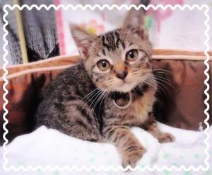 キジトラの男の子♂ やや人見知りですが人懐っこい性格❣ かぎしっぽの猫ちゃん🐱