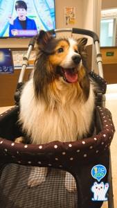 リウマチのつく。 先日、新たな治療法の説明を聞きに横浜の動物病院へ行ってきました。 少しでもよくなる可能性があるのならば・・・。 治療はいよいよ来月✨ がんばろっ! 後ろのテレビにはアッコさん(・∀・)
