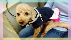先住犬のマロンちゃんが今年6月に亡くなってから、元気がなくなってしまいました。。。(/_;)