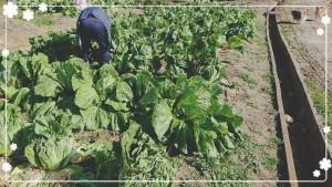 白菜も家庭菜園の域を超えていますが😂 ちょっとやっただけなのに腰が痛い😣 本当に農家さんはすごい!!!!! 去年はダメになってしまった白菜。 畑もキレイに整え、今年は見事に育ってくれています😊