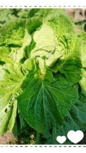 白菜が大きく育っています✨ この日は良いお天気だったので、白菜縛りを行いました。