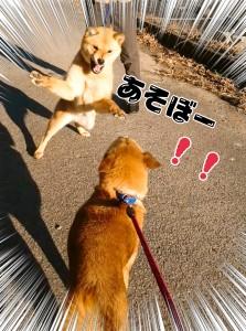 ガオーッ!!! 正解は「狩りのポーズ」でした! 遠くから歩いてくる仲間のワンコをこうして待ち伏せします。 本人(犬)は隠れているつもりですが、丸見えです👀 しかも、これは怒って襲おうとしているのではなく、本当に「遊ぼ!!」のお顔なのです(笑) *基本的にワンコが鼻にしわを寄せて歯を見せているときは、「これ以上近づくな!!!」と怒っている可能性大ですので、無理になでたり触ったりしないように注意してくださいね!