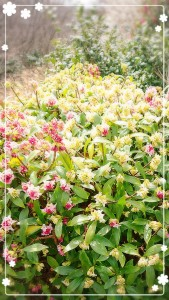 ちなみに、3月18日の誕生花は「じんちょうげ」なんだって✨ かわいいお花✨