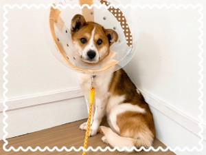コーギーが入ってそうなMIX犬と見られています♡ ちょっとビビりさん。