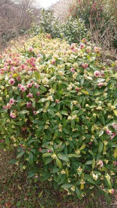 こちらは沈丁花(ジンチョウゲ)。 とっても可愛くって大好きな植物✨