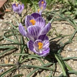咲きました!我が家のクロッカス^^