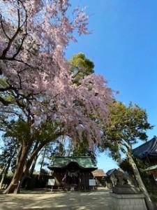 29日(月)の生放送前に駆け足で見てきた三島八幡神社の枝垂れ桜。きれいだった〜♪
