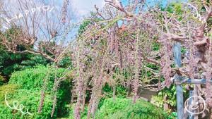 庭の藤の木。また花を咲かす準備が整ってきたようです✨ 芽が出始めたらあっと言う間にこんなに長くなってきました。 放送の頃には咲き始めているかも??!♡