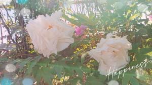 牡丹もいつの間にか立派な花を咲かせていました✨ 後ろにはピンクの牡丹も♡