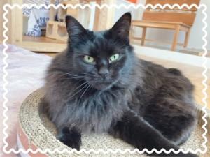 黒い長毛猫ちゃん。 ふわちゃん♀ 3歳から5歳ぐらいとみられています。