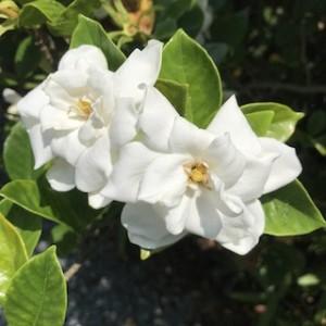 大好きなクチナシの花です。つまりクチナシの木です!大きく育ってくれたらなぁ。