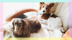 左のミニチュアダックスフントがマイキー君♂ 右はチワワ✖テリアのMIX犬プリンちゃん♀