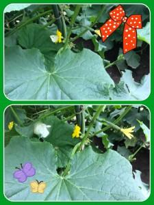 ちょうちょや蜂が受粉してくれています♡ ・・・と思っていたら、キュウリは受粉しなくても実がなるんですね!!!(゚Д゚)