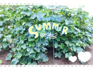 毎日毎日キュウリが育ちます。キュウリを育てているおうちはたくさんあると思います。 おもしろいぐらい育ちますよね👀✨ 我が家の夏の風物詩。