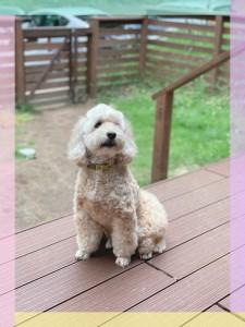 コッカプーは介助犬として人間のお手伝いをしてもらうためにmixされた歴史ある犬種なんだって✨