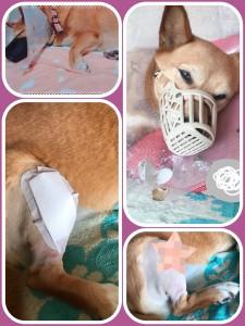 マリ。足を怪我して手術しました( ノД`) エリザベスカラーだけでは傷口の包帯を外して傷口を舐めてしまいます(>__<)
