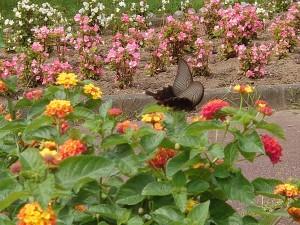 フラワーセンター黒蝶2